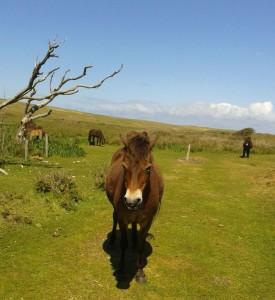 Pferdebegegnung Texel 26 Mai 2015