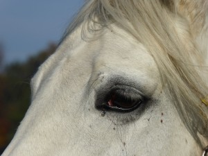 Pferd Schimmel Auge kl