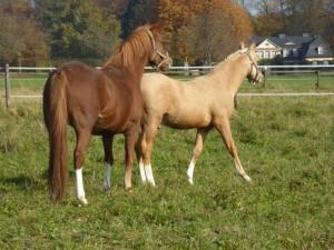 Herbsttag Schwanenmühle Pferde kl