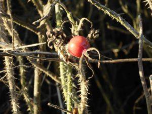 langeoog-rose-hagebutte-161229