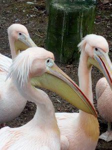 wuppertal-zoo-pelikane
