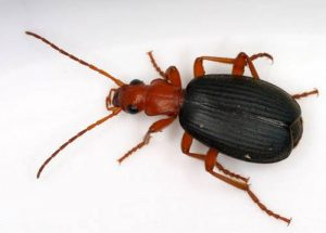 kaefer-brachinus