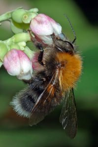 Bombus_hypnorum_male_-_side_(aka)