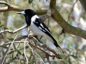 Pied_Butcherbird._Cracticus_nigrogularis_(15207948764)