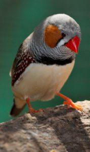 ZebrafinkTaeniopygia_guttata_-_front_view_-_dundee_wildlife_park