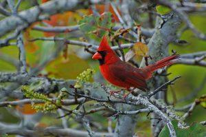 Roter_Kardinal_(Cardinalis_cardinalis)_B._Walker