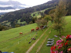 Villanders Auslauf der Kühe
