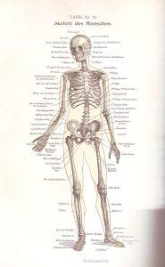 Skelett vorn