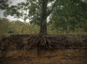 Wurzel Mango Exposed_mango_tree_roots
