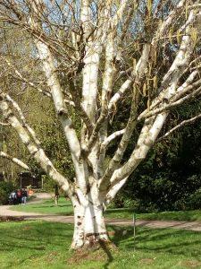 Botanisch Birke Nordamerika